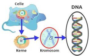 Cellekerne