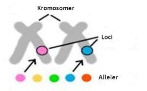 Kromosomer2